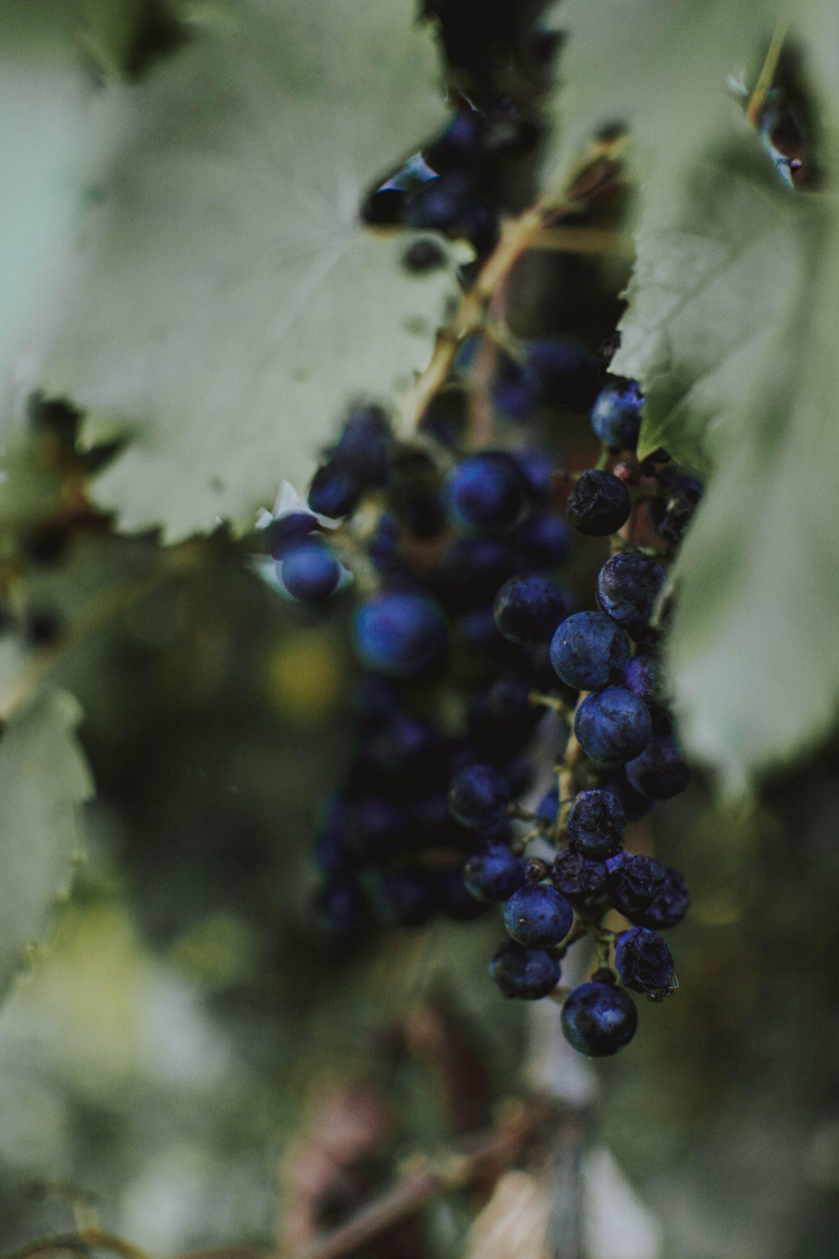 Klimawandel und Weinanbau - Rote Weintraube
