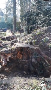 Wurzel eines Mammutbaumes